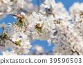 樱花 樱桃树 樱花盛开 39596503