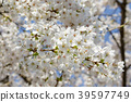 樱花 樱桃树 樱花盛开 39597749