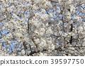 樱花 樱桃树 樱花盛开 39597750