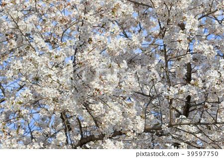 cherry blossom, cherry tree, yoshino cherry tree 39597750