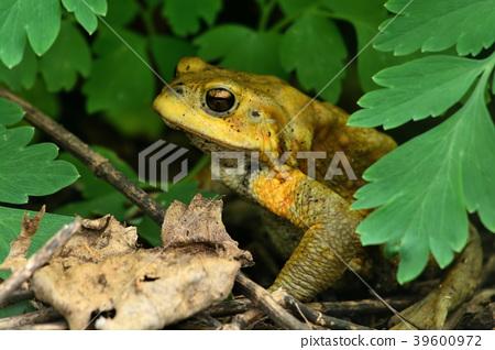 미야코 섬 / 미야코 두꺼비 39600972