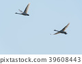 Migrating whooper swans 39608443