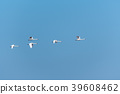 Beautiful white swans by a blue sky 39608462