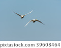 Front view of two flying swans 39608464