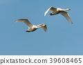 Pair of flying white swans 39608465