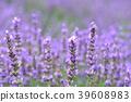 라벤더, 꽃, 플라워 39608983