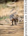 野豬 野豬崽 39609328