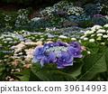 자주색, 잎, 꽃밭 39614993