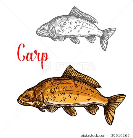 Carp sketch of freshwater fish for fishing design 39616163