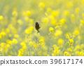 봄, 작은, 유채 꽃밭 39617174