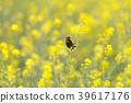 봄, 작은, 유채 꽃밭 39617176