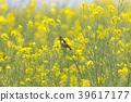 봄, 작은, 유채 꽃밭 39617177