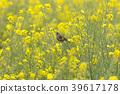 봄, 작은, 유채 꽃밭 39617178