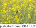 봄, 작은, 유채 꽃밭 39617179