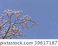 ต้นไม้,ดอกไม้,ดอกซากุระบาน 39617187
