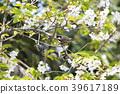 นก,ดอกไม้,ดอกซากุระ 39617189