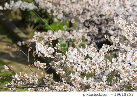 cherry blossom, cherry tree, yoshino cherry tree 39618855