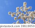 樱花 樱桃树 樱花盛开 39619050