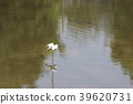little white heron stands on the shore against 39620731
