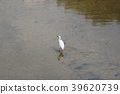 little white heron stands on the shore against 39620739