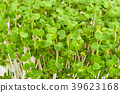 White mustard seedlings 39623168