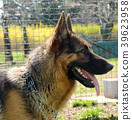 close up profile of german shepherd dog 39623958