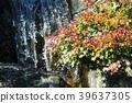 maple, yellow leafe, fallen leaves 39637305