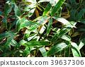 kuma bamboo grass, bamboo grass, foliage 39637306