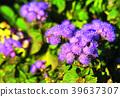 ageratum, ageratum houstonianum, bloom 39637307