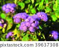 ageratum, ageratum houstonianum, bloom 39637308