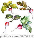 Red radish vegetables  in a watercolor styl 39652512