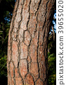 Bark of pine tree in Gyeongju, south korea 39655020