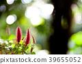 Acalypha hispida flower blossom 39655052
