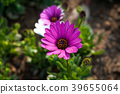 Flower purple of pink white gerbera 39655064