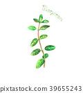 marjoram isolated herb 39655243