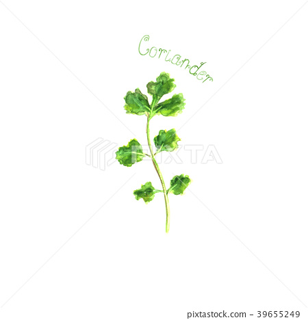 Coriander herb spice isolated on white background 39655249
