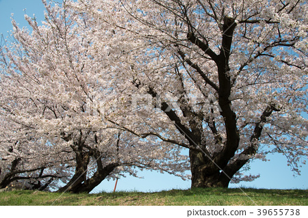 Cherry Blossoms 39655738