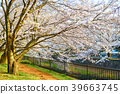 阿久和 강가의 벚꽃 39663745