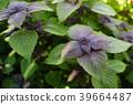 植物 植物学 植物的 39664487