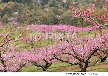 Peach blossoms 39672202