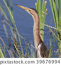 A female little bittern with long neck 39676994