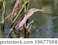 A female little bittern with long neck 39677008