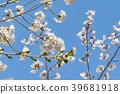 ดอกซากุระบาน,ซากุระบาน,ดอกไม้บานเต็มที่ 39681918