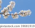 ดอกซากุระบาน,ซากุระบาน,ดอกไม้บานเต็มที่ 39681919