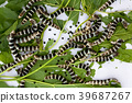 Silkworm eating mulberry green leaf  39687267