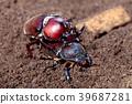 Mating Rhinoceros beetles  39687281