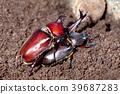 Mating Rhinoceros beetles  39687283