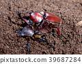Mating Rhinoceros beetles  39687284
