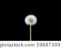 Dandelion last seed in the wind on black backgroun 39687309