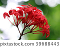Bloom of the Ixora chinensis 39688443